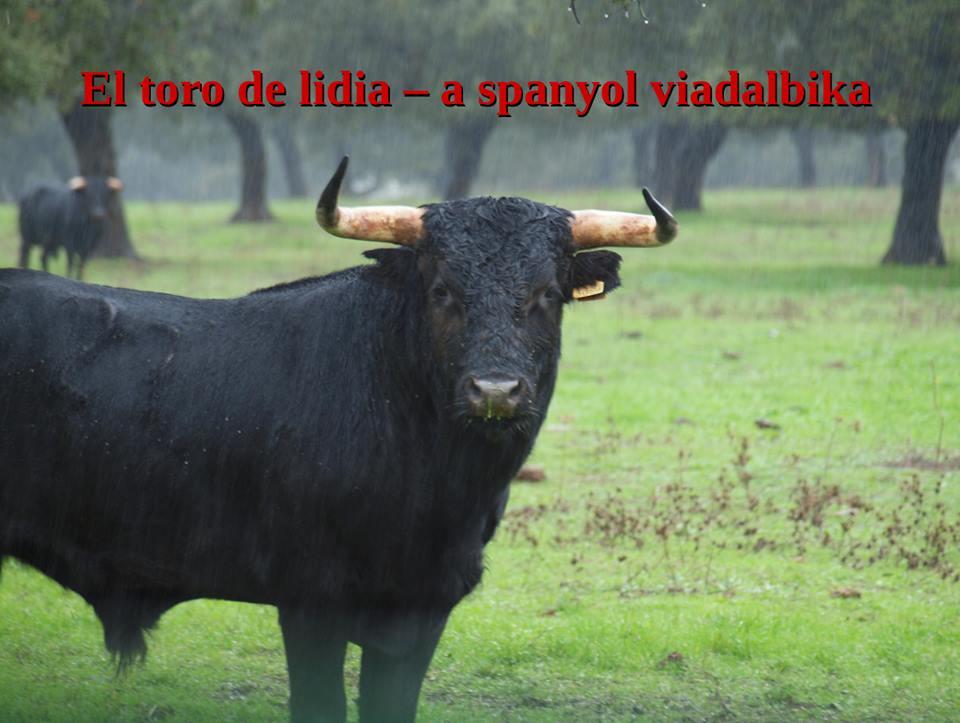 hány bika él