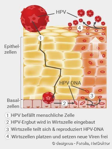 papillomavírus vakcina intervallum