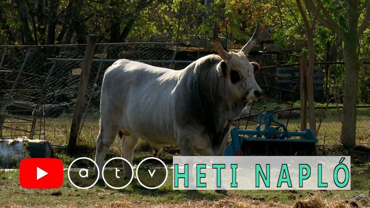bika köztes bika és végső tulajdonos)