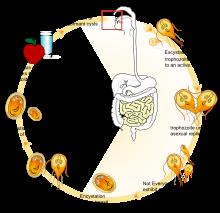 a giardia parazita helyreállítása