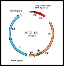papilloma vírus 56