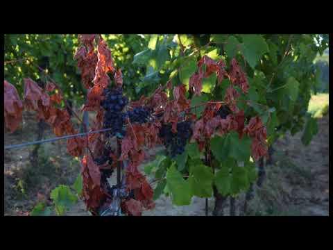 féreg a szőlő)
