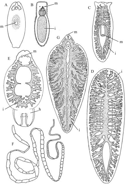 Syncytial tegument platyhelminthes