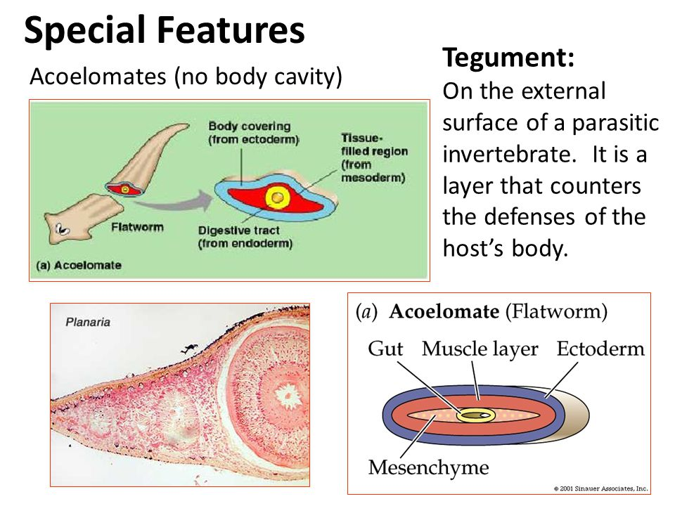 tegument platyhelminthes)