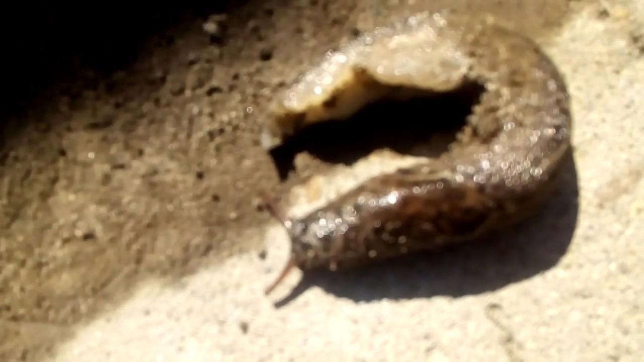 schistosomiasis csiga parazitaellenes szerek a demodex-től