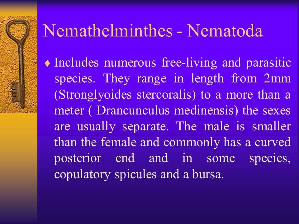 phylum nemathelminthes ppt