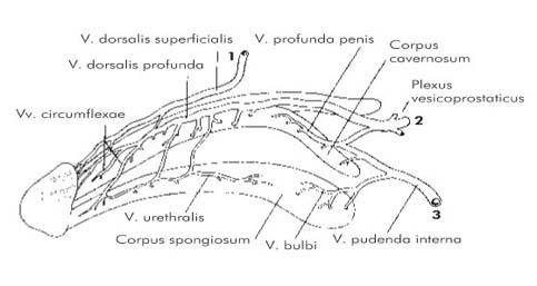 urethralis condyloma diagnózisa)