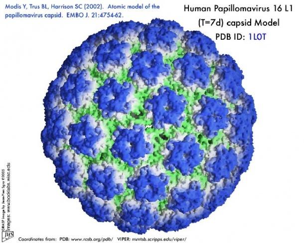 humán papilloma vírus (hpv) féreghajtó tudomány meghatározása