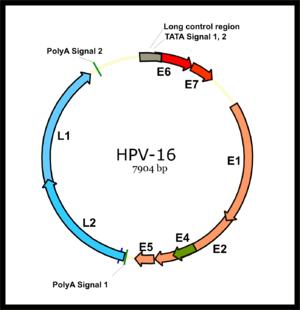 humán papillomavírussal 16)