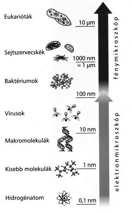 baktériumok szemlencsék