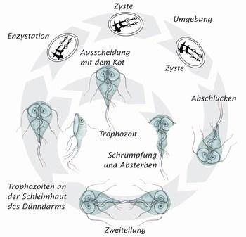 kis féregparazita hogy néznek ki a korbácstojások