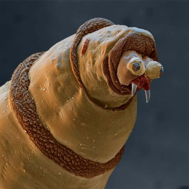 egy féreg mikroszkóp alatt)
