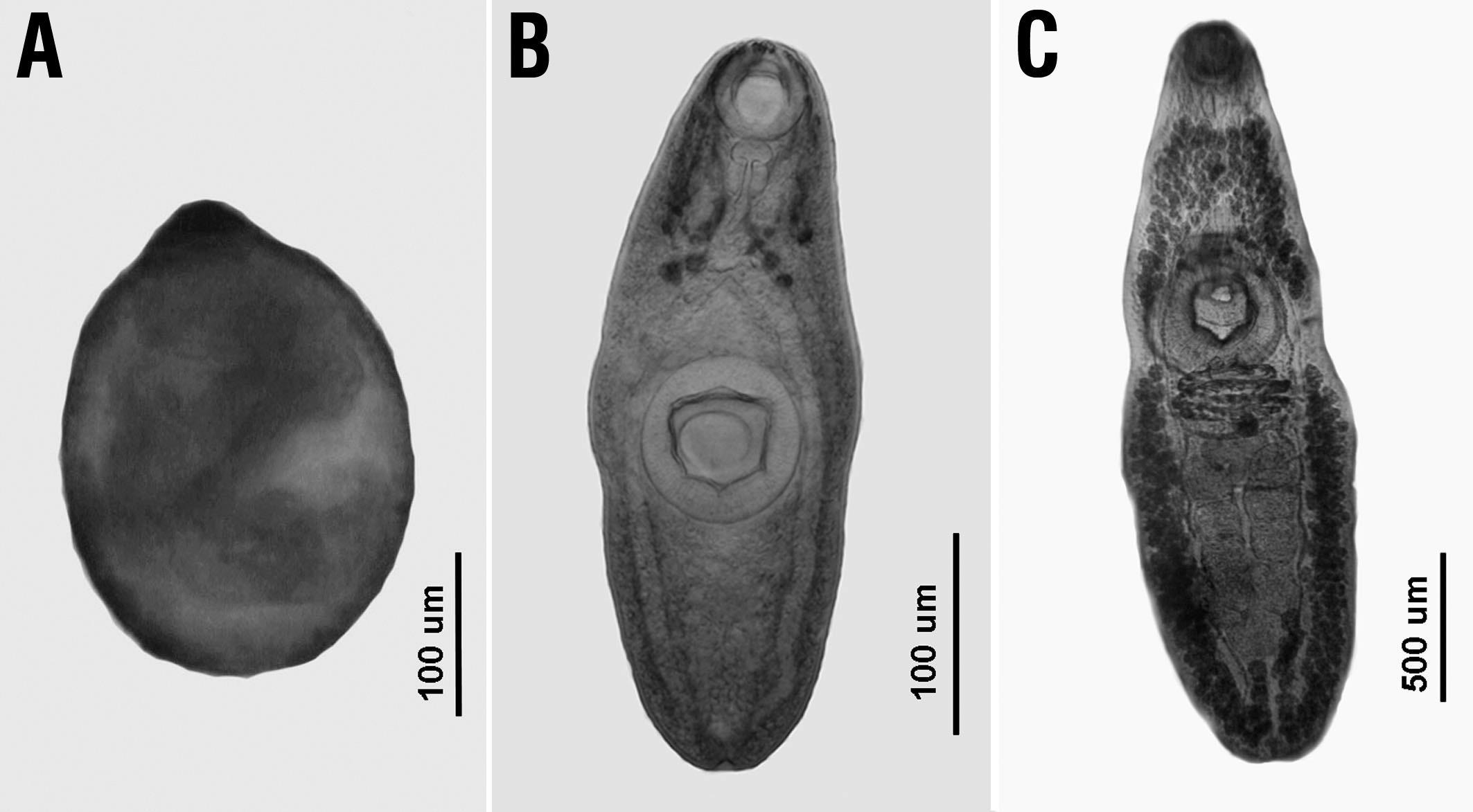 Platyhelminthes ecdysozoans. Megjegyzések