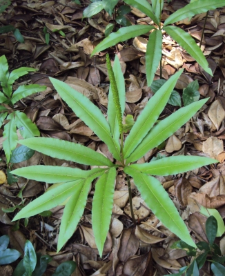 condyloma acuminata elváltozás