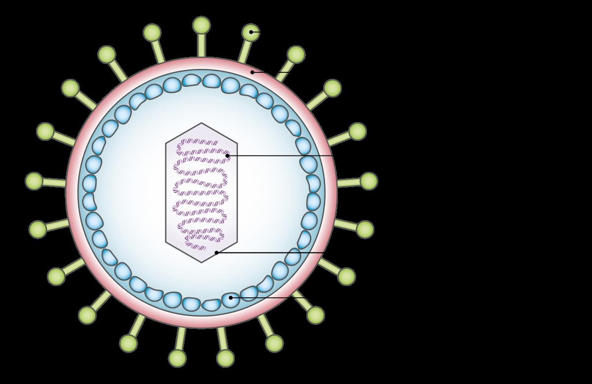 hpv vírus inkubáció