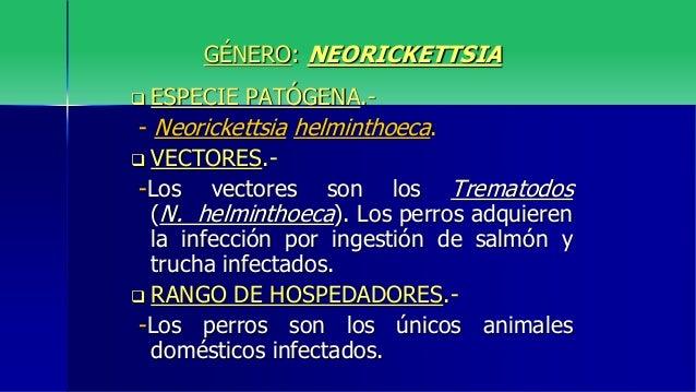 neorickettsia helminthoeca parazita