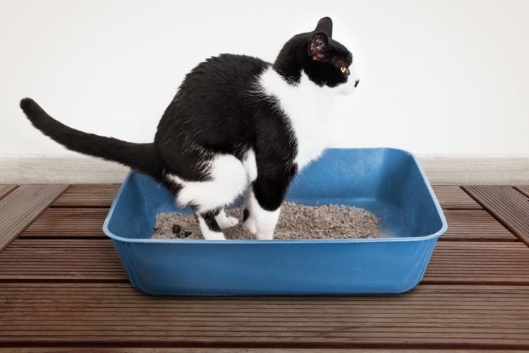 galandféreg macskák kezelésében
