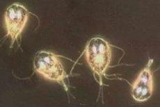 giardia zarnu vérszegénység terhesség alatt