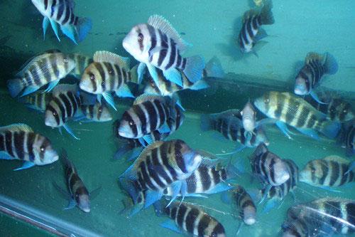 a Borneo folyó parazitái