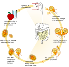 a giardia parazita életciklusa
