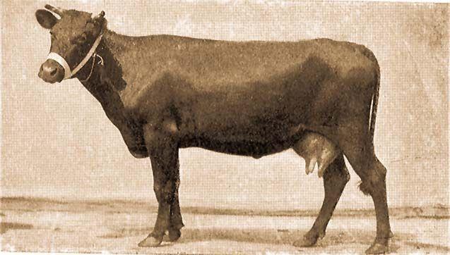 a szarvasmarha-gyűrű testének mérete férfi nemi szemölcsök vektora
