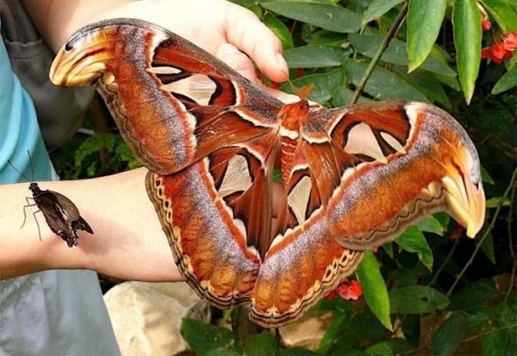 a legnagyobb rovar
