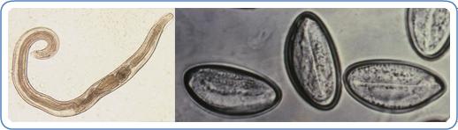 enterobius vermicularis pinworms kezelés)