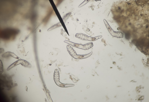 Szőrtüsző atka (Demodex canis)