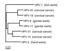 papilloma vírus 6)