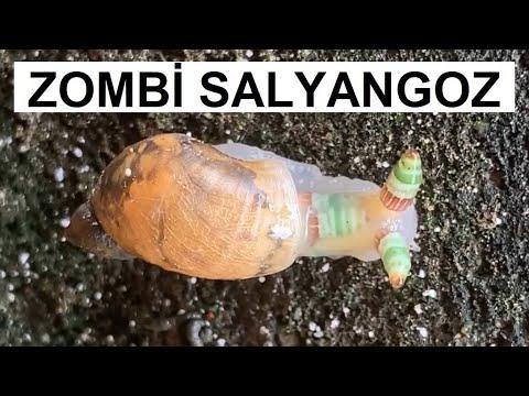 Egyszerre csodálatos és félelmetes a parazita által irányított zombi csiga | hu