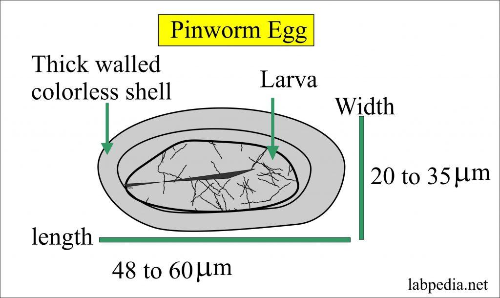 enterobius vermicularis patofiziológia