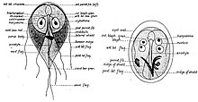 Giardia lamblia kimutatása