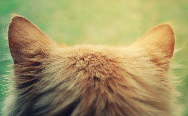 Hogyan néz ki a macska rüh: az első jelek, az otthoni kezelés és a tünetek, - Tenyészt