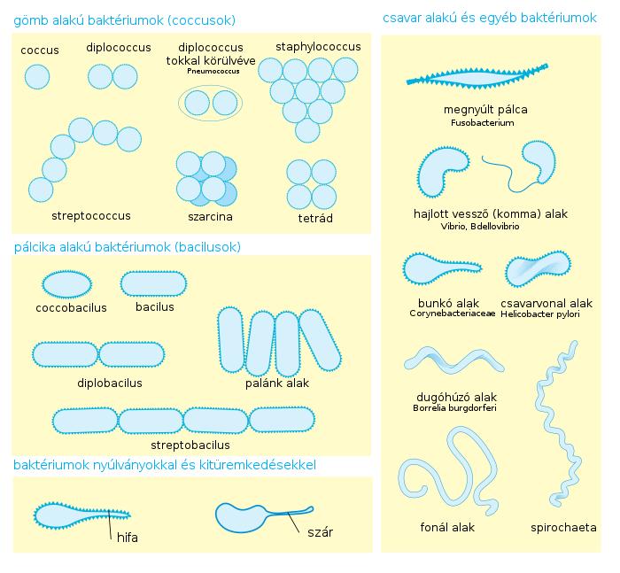 bacillus baktériumok)