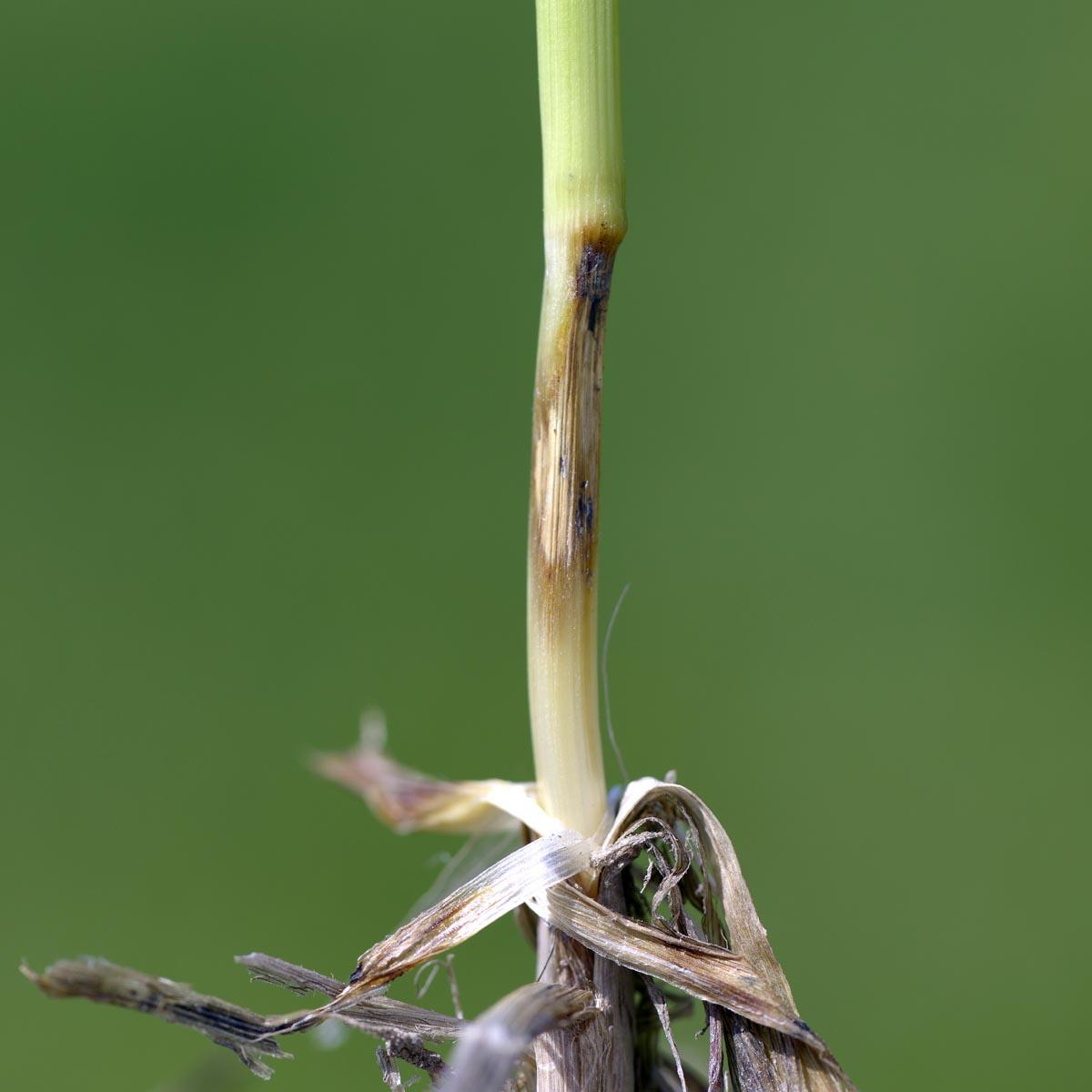 parazita rostlin)