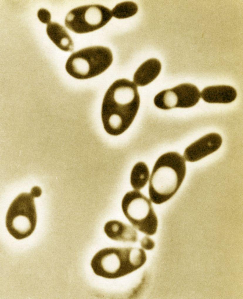 az élelmiszeriparban hasznos baktériumok)