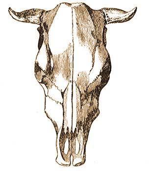 a szarvasmarha-gyűrű testének mérete