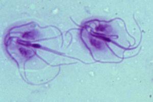 a fenyőférgek inkubációs ideje Hogyan lehet eltávolítani a parazitákat a fórumon