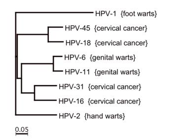 hpv magas kockázatú típusok listája)