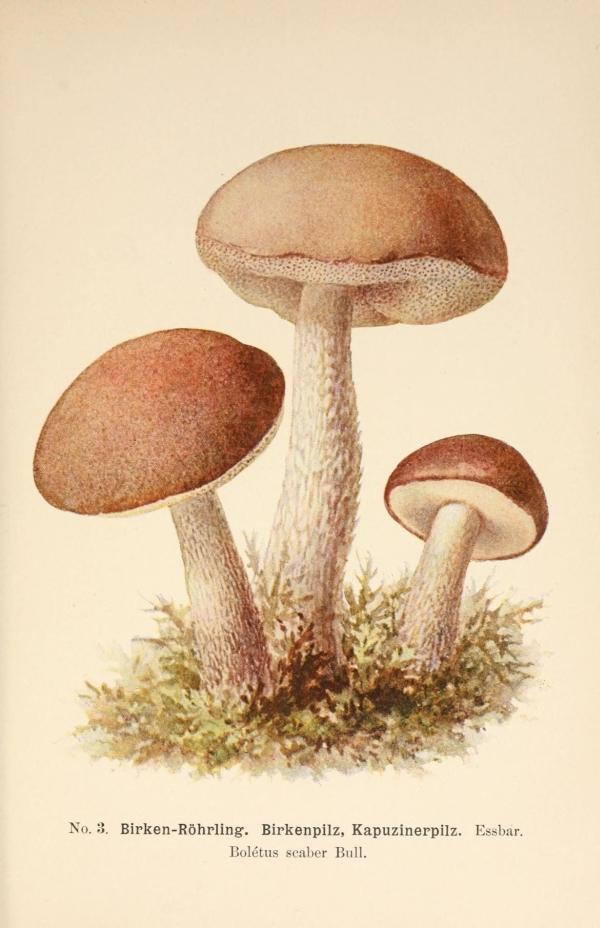 régi gombák Olasz papilloma