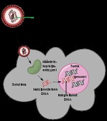 humán papillomavírus onkogének)