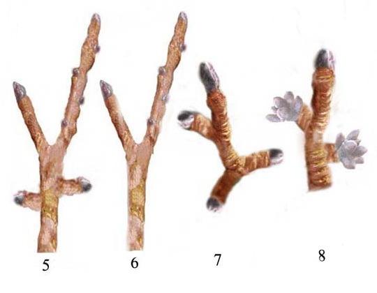 Miről ismerhető fel a termő- (virág-) rügy?