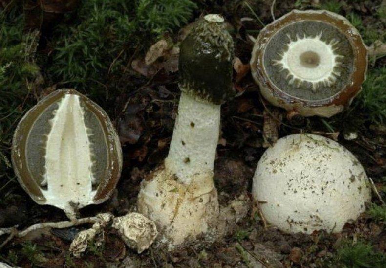 hallucinogén gombák ára)