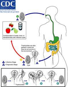 Giardia duodenalis terapia