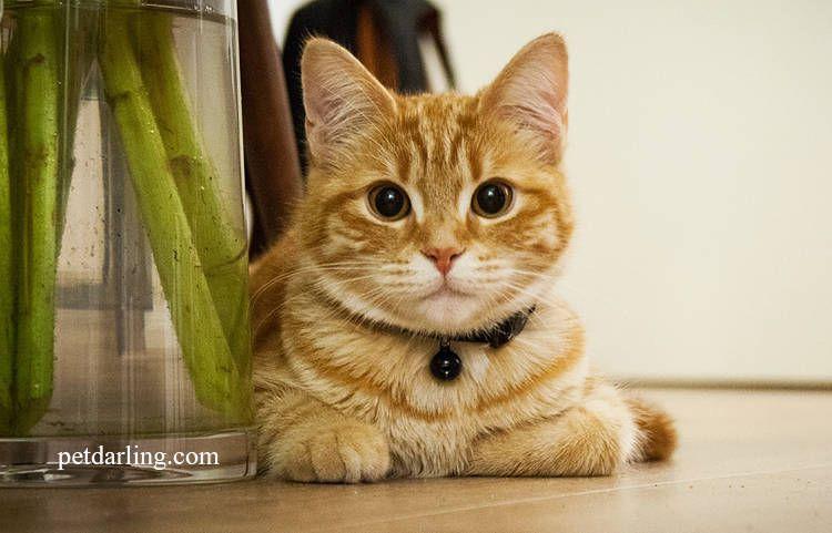 giardia gatos