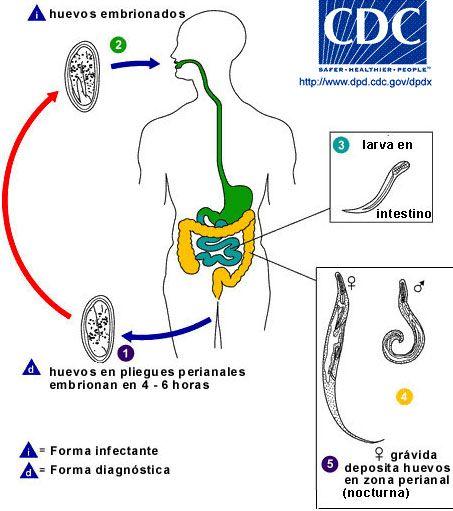 enterobius vermicularis hasmenés)