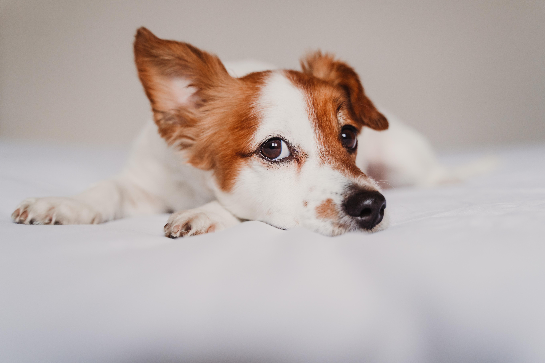 giardia kutya fertőző ember
