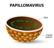 hpv vírus vrouwen helmint orvosi kifejezés meghatározása