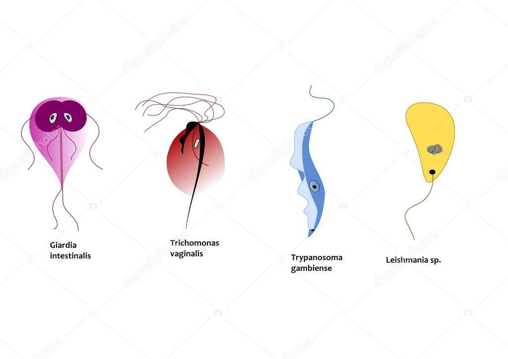 Protozoan paraziták leishmaniasis