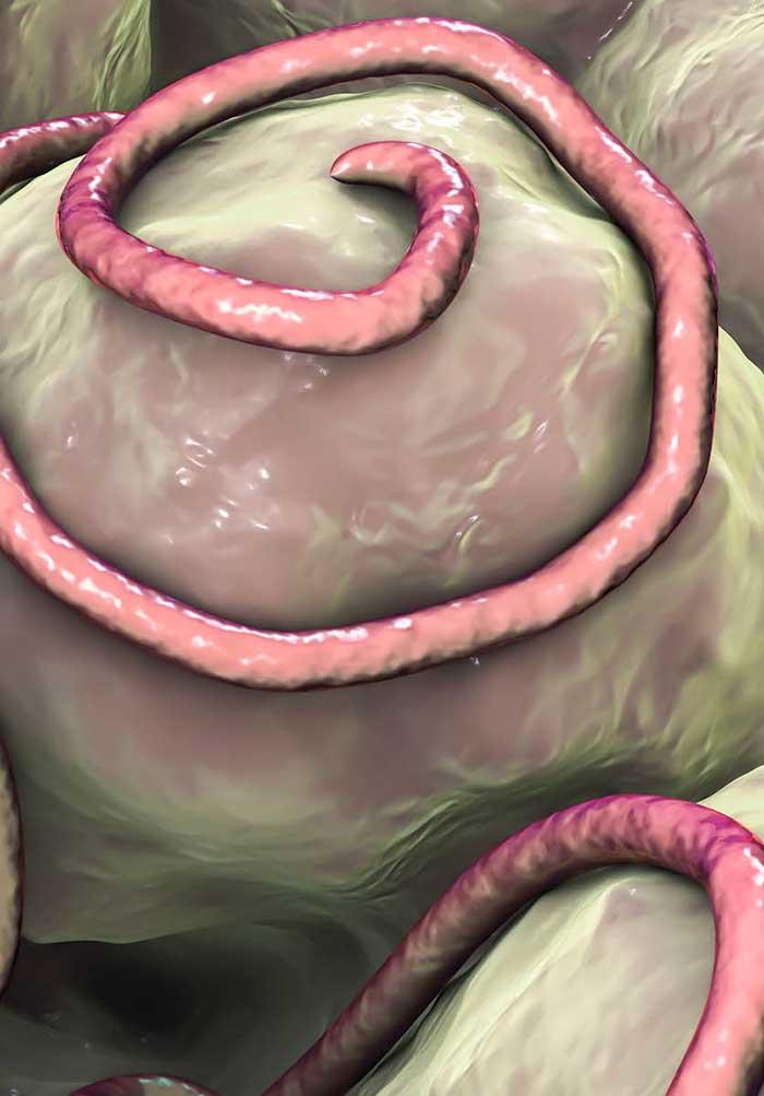 Mi a helminthiasis és hogyan kell kezelni, A Magyarországon előforduló féregfertőzések